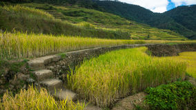 Cement Steps and Path Leading Through the Maligcong Rice Terraces. Walkway leading through the majestic rice terraces of the Philippines Stock Images