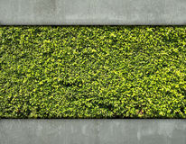 Cement Wall And Green Leaf Royalty Free Stock Photography