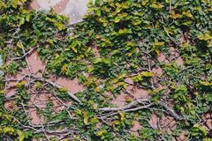 Cement wall with green foliage in Chonburi, Thailand royalty free stock photo