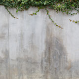 Cement wall texture and green leaf Ivy Royalty Free Stock Photo