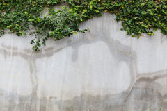 Cement wall texture and green leaf Ivy Stock Photos
