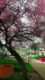 cemetery chillan, Chile, cherry tree stock photography