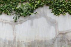 Cementowy ścienny tekstury i zieleni liścia bluszcz Zdjęcia Stock