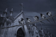 Cemetery bunch of magpies. Flock of magpies in an old european cemetery Royalty Free Stock Images