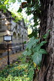 Cemetery. Detail of ivy growing around the tree in old cemetery Royalty Free Stock Photography