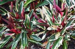 Cemeystvo Marantaceae Royalty Free Stock Photos