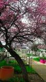 cemitério chillan, o Chile, árvore de cereja fotografia de stock