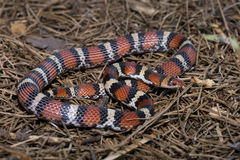 Cemophora coccinea. Is a nonvenomous species of colubrid snake commonly known as the scarlet snake Royalty Free Stock Photo