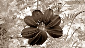 Cempasúchil flower B/W. Cempasúchil flower black and white, whit a retouch of negative royalty free stock photo