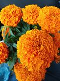 Cempasúchil. Flower Mexico Stock Photos