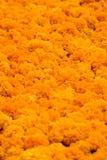 Cempasuchil flower Stock Photography