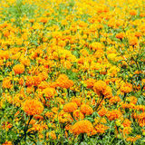 Cempasuchil flower field. Tagetes Erecta, the Mexican marigold, flower of the dead Royalty Free Stock Image