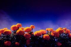 Cempasuchilbloemen voor dag van de dode altaren worden gebruikt dat royalty-vrije stock foto