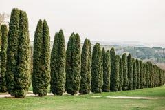 Cenário bonito da árvore do arborvitae no parque fotos de stock