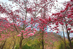 Cenário bonito de árvores cor-de-rosa da flor de cerejeira entre as montanhas Foto de Stock Royalty Free