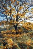 Cenário bonito, dourado do outono com árvores e folhas douradas fotos de stock royalty free