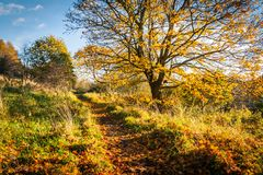 Cenário bonito, dourado do outono com árvores e folhas douradas na luz do sol em Escócia fotos de stock