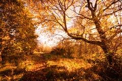 Cenário bonito, dourado do outono com árvores e folhas douradas na luz do sol em Escócia fotos de stock royalty free