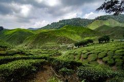 Cenário bonito em Cameron Highlands, Malásia com a plantação de chá verde da natureza perto do monte fotografia de stock