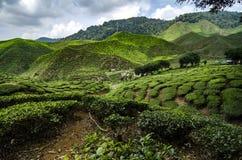 Cenário bonito em Cameron Highlands, Malásia com a plantação de chá verde da natureza perto do monte imagem de stock royalty free