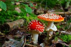 Cenário da floresta do cogumelo do agaric de mosca Fotos de Stock