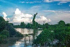 Cenário da floresta dos manguezais da seiva de Tonle perto de Siem Reap Imagem de Stock Royalty Free