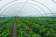 Cenário da plantação da morango na estufa fotografia de stock