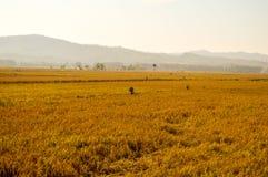 Cenário da terra do arroz Foto de Stock Royalty Free