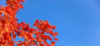 Cenário do outono com parte superior do bordo com folliage colorido imagens de stock