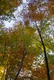 Cenário do outono Ideia inferior de ramos de árvore coloridos do bordo do outono no fundo do céu azul Fotos de Stock Royalty Free