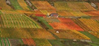 Cenário do vinhedo do outono Fotografia de Stock