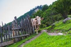 Cenário rústico da montanha com uma vaca Imagem de Stock Royalty Free