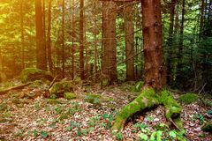 Cenário selvagem bonito da floresta com os troncos de árvore velhos musgosos dos pinhos e o alargamento do sol fotografia de stock