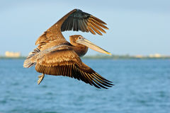 Cena acrobática da ação com pelicano Voo do pelicano em thy céu azul da noite Pelicano de Brown que espirra na água, pássaro no h Imagens de Stock Royalty Free