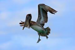 Cena acrobática da ação com pelicano Voo do pelicano em thy céu azul da noite Pelicano de Brown que espirra na água, pássaro no h Imagem de Stock