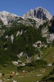 Cena alpina com vacas Foto de Stock Royalty Free