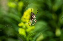 Cena aspettante del piccolo ragno Immagini Stock