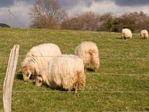 Cena Basque do campo de exploração agrícola do país com carneiros Fotos de Stock