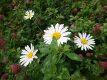 Cena bonita da natureza com as flores de florescência da camomila no parque fotos de stock royalty free