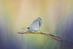 A cena bonita da natureza com borboleta Curto-atou argiades azuis de Cupido Imagens de Stock