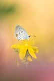 A cena bonita da natureza com borboleta Curto-atou argiades azuis de Cupido Fotos de Stock
