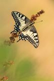 Cena bonita da natureza com machaon de Swallowtail Papilio da borboleta Fotografia de Stock Royalty Free