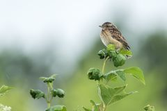 Cena bonita da natureza com o rubetra do Saxicola do whinchat do pássaro Imagens de Stock Royalty Free