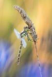 Cena bonita da natureza com o vulgatum de Sympetrum do darter do vagabundo da libélula Fotografia de Stock