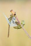Cena bonita da natureza com o vulgatum de Sympetrum do darter do vagabundo da libélula Imagem de Stock