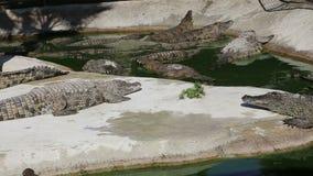 Cena com zumbir grande do crocodilo video estoque