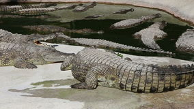 Cena com zumbir grande do crocodilo filme