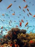 Cena coral foto de stock