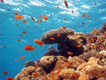 Cena coral foto de stock royalty free