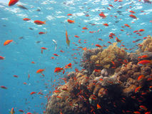 Cena coral fotografia de stock royalty free